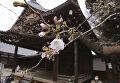 Цветение сакуры в храме Ясукуни в Токио. 21 марта 2016