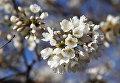 Цветение сакуры в Вашингтоне. 21 марта 2016