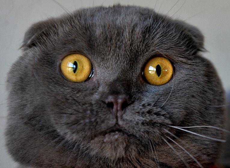 Кот породы Скоттиш-фолд на выставке кошек в Бишкеке, Киргизия