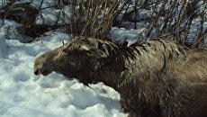 Томичи спасли лосиху и лосенка, провалившихся под лед на реке