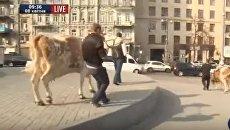 Ляшко митинговал у здания кабмина Украины вместе с коровами. ВИДЕО