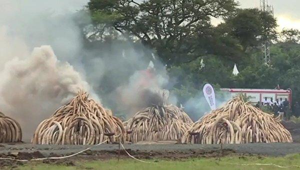 В Кении сожгли слоновую кость на сто миллионов долларов. ВИДЕО