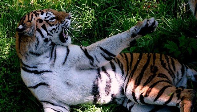 Перемещения тигра воВладивостоке попали накамеру