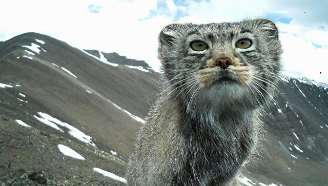 дикого кота фото