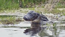 Дикий аллигатор во Флориде. Архивное фото