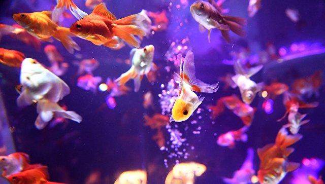 Золотые рыбки плавают в аквариуме на выставке в Токио
