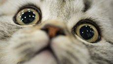 Котенок породы британская короткошерстная