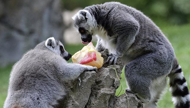 Два лемура лакомятся замороженным угощением, чтобы легче перенести жару в зоопарке Валенсии