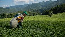 Ручная сборка Мацестинского чая в Хостинском районе Большого Сочи