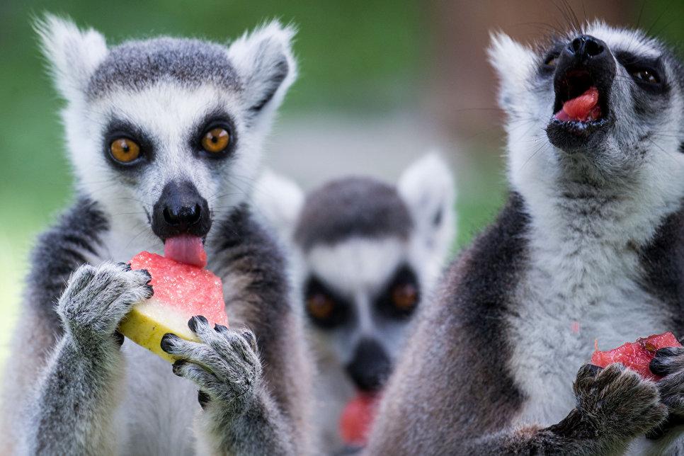 Лемуры едят арбуз в зоопарке Ханчжоу