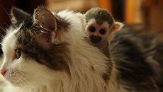 Брошенная родителями обезьяна обнимала приемную маму-кошку и каталась не ней