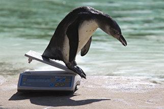 Пингвин Гумбольдта соскальзывает с весов после процедуры взвешивания в зоопарке Лондона