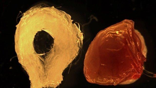 Ученые при помощи стволовых клеток впервый раз вырастили полноценную печень
