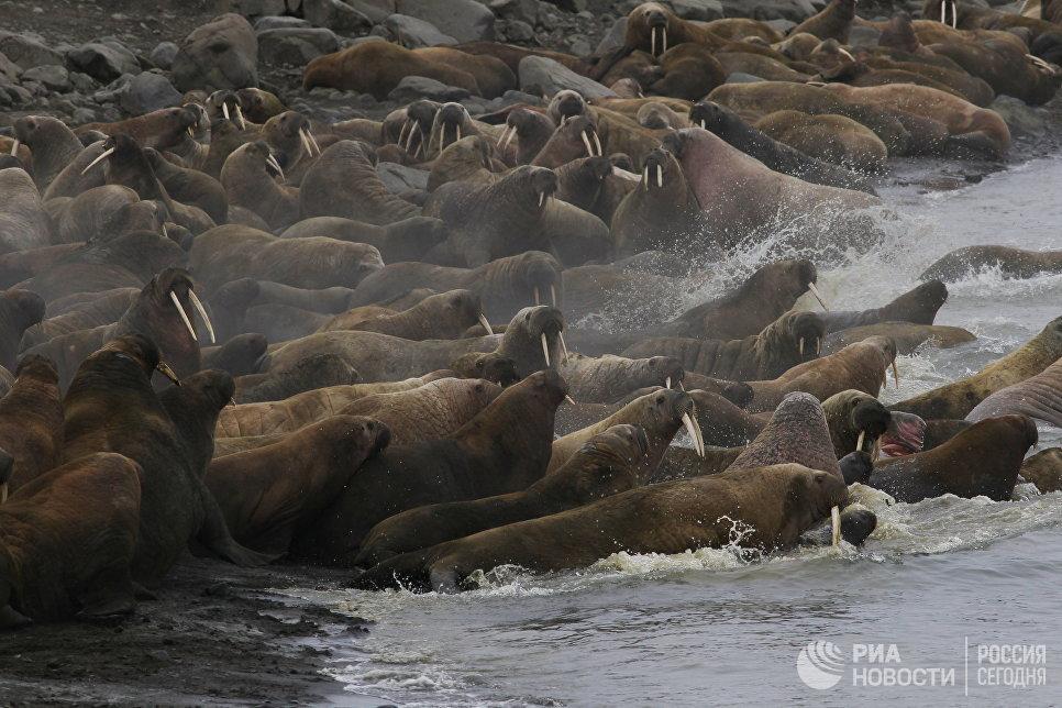 Лежбище моржей на острове Мертвого Тюленя архипелага Земля Франца-Иосифа