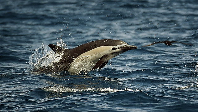 Дельфин у побережья. Архивное фото