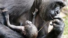 Горилла Шира и ее шестидневный детеныш в зоопарке Франкфурта, Германия