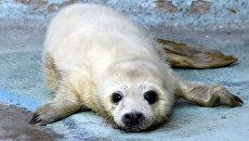 Детеныш серого тюленя в вольере калининградского зоопарка