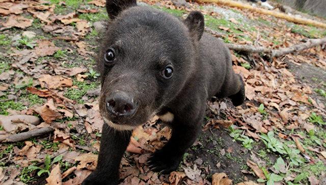 2-х медвежат сошейниками отыскали влесопарке столицы