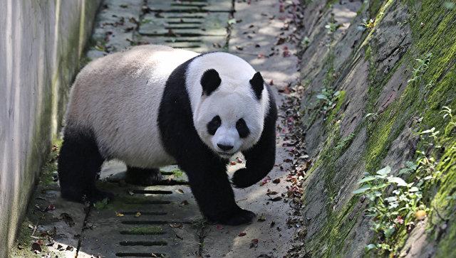 В КНР самой старейшей вмире панде исполнилось 37 лет
