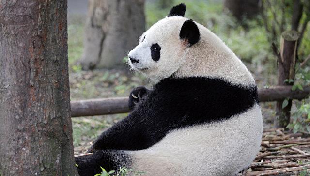 В «Поднебесной» дикая панда переломала человеку руки