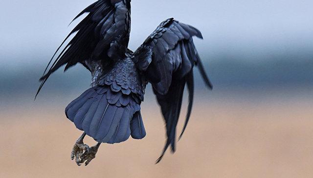 Ворона. Архивное фото