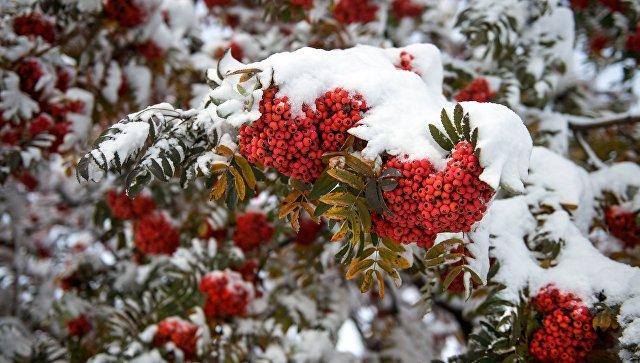 Первый снег на ветке рябины. Архивное фото