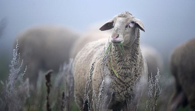 33 барана погибли наферме из-за сибирской язвы— Австралия