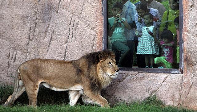 Лев в зоопарке Эль-Айн, ОАЭ