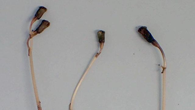 Открыто растение, которое не фотосинтезирует и не цветет