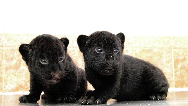 Уникальные черные ягуарята-двойняшки появились насвет внижегородском зоопарке