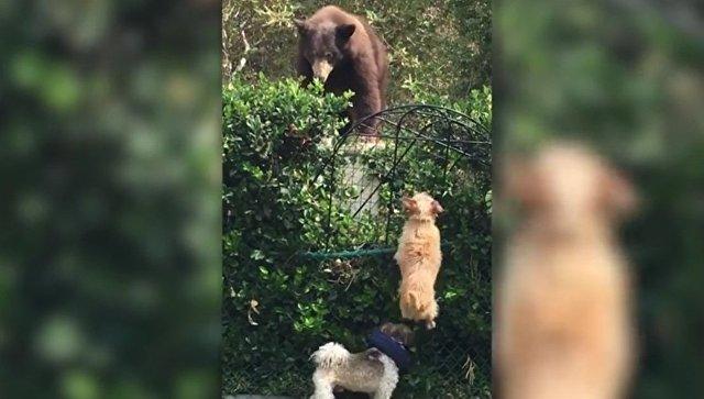 Маленькие псы отогнали медведя