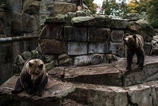 Бурые медведи в Калининградском зоопарке