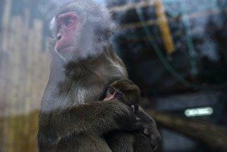 Японская макака с детенышем в Калининградском зоопарке