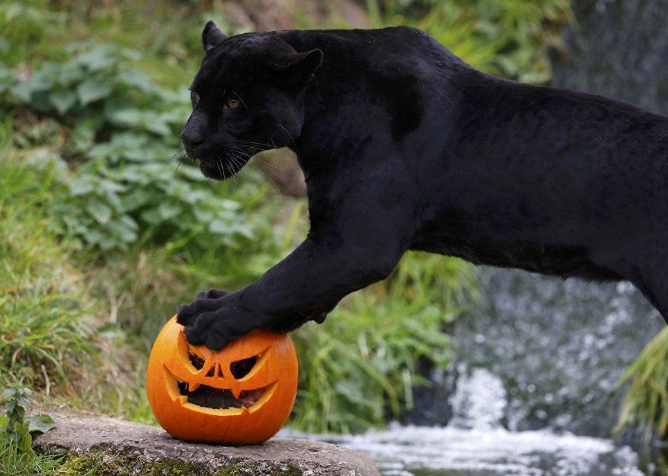 Черный ягуар в зоопарке Честера, Великобритания
