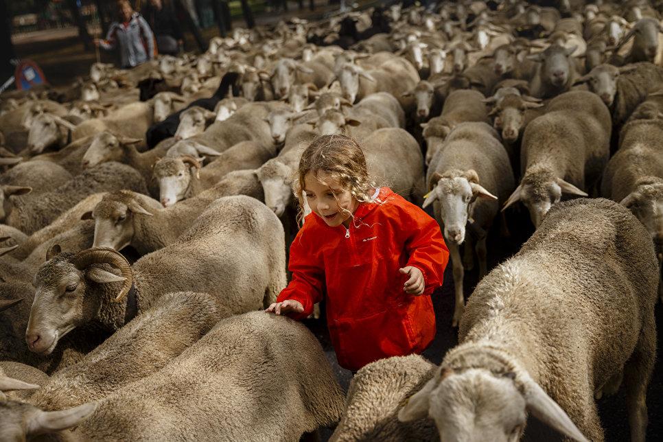 1000 овец в центре Мадрида, Испания