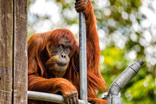 60-летний суматранский орангутан-долгожитель в зоопарке австралийского города Перт
