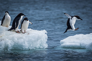 Пингвины Адели прыгают между льдинами