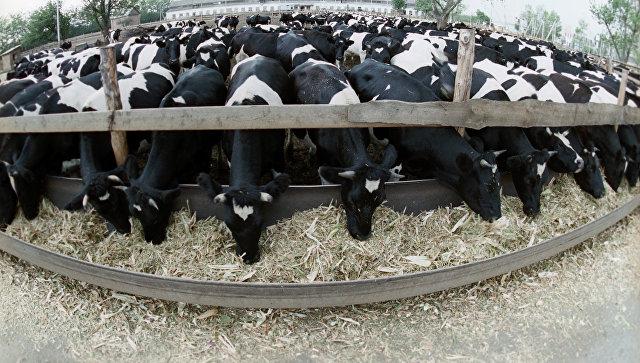 Коровы на животноводческой ферме. Архивное фото