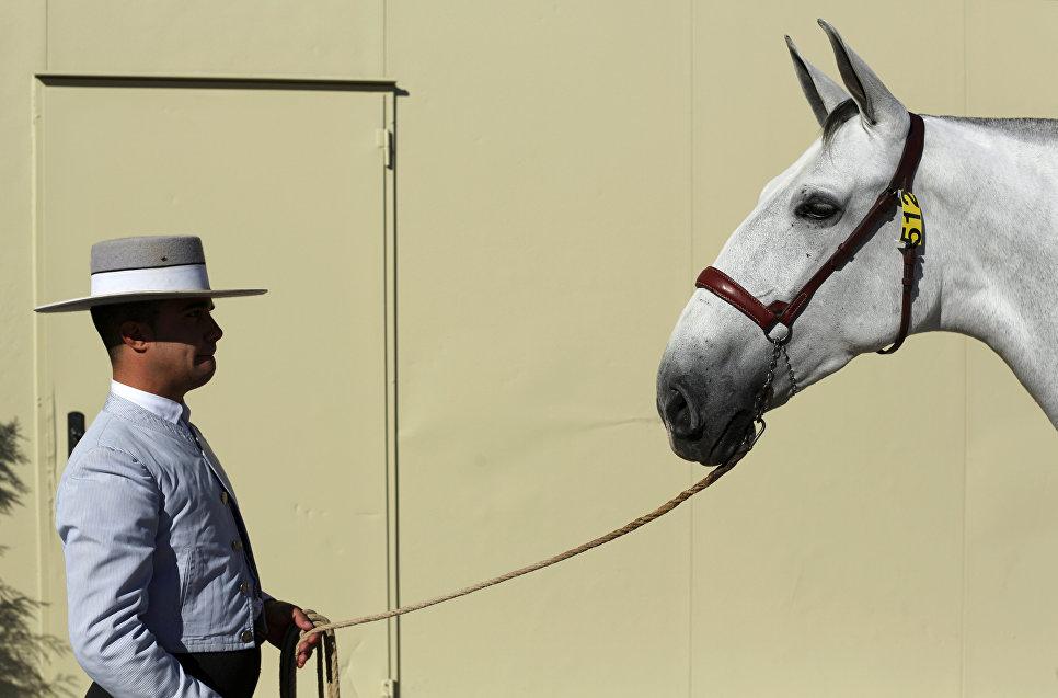 Наездник с чистокровной испанской лошадью на конкурсе SICAB в Севилье, Андалусия, Испания. 16 ноября 2016