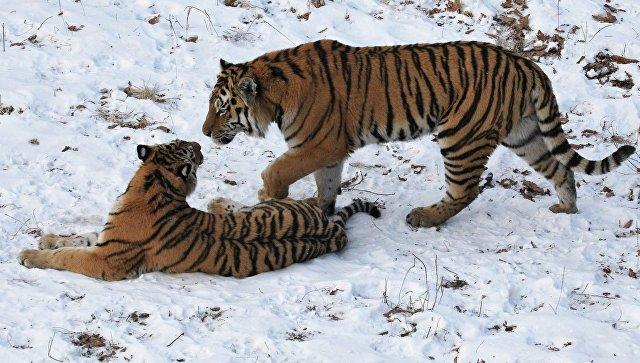 Амурские тигры. Архивное фото