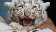 Бенгальский тигренок. Архивное фото