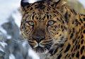 """Дальневосточный леопард из национального парка Приморья """"Земля леопарда"""". Архивное фото"""