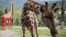 Жираф в зоопарке Сказка в Ялте. Архивное фото