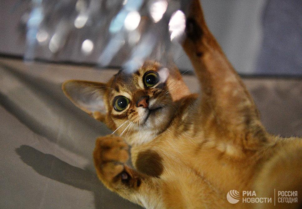Кошка породы абиссинская на выставке Кэт-Салон-Декабрь в Москве