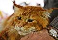 Кошка породы мейн кун на выставке Кэт-Салон-Декабрь в Москве