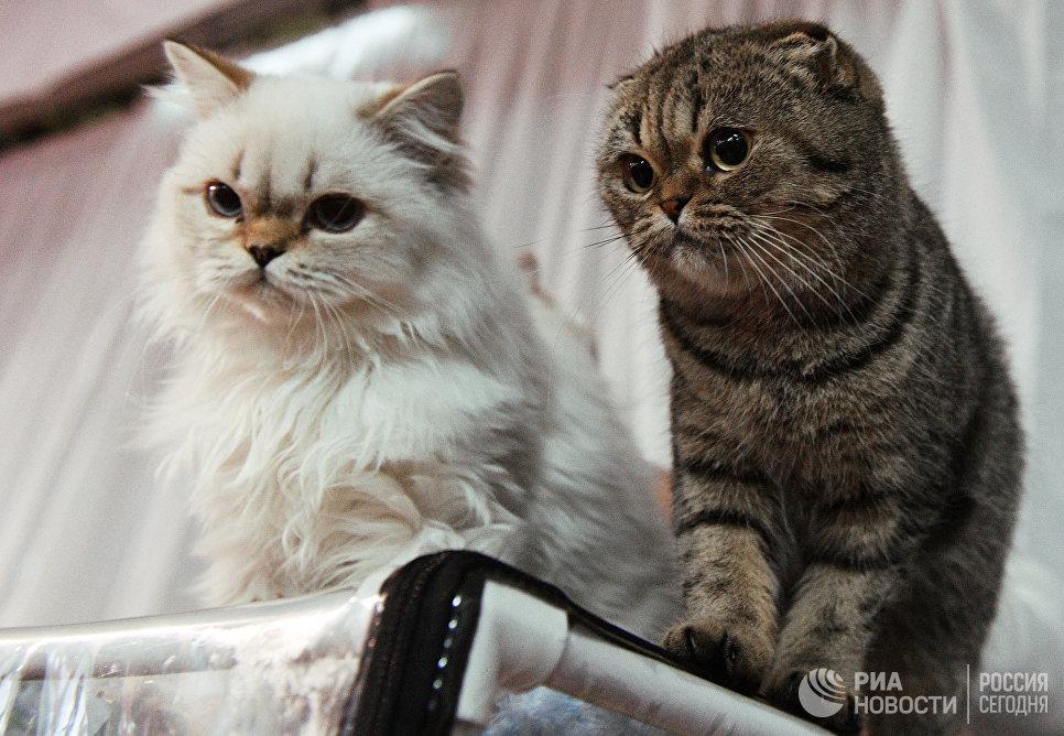 Кошки пород британская длинношерстная и шотландская вислоухая на выставке Кэт-Салон-Декабрь в Москве
