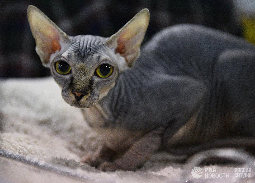 Кошка породы канадский сфинкс на выставке Кэт-Салон-Декабрь в Москве