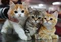Кошки породы британская на выставке Кэт-Салон-Декабрь в Москве