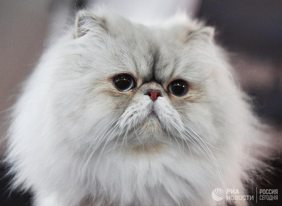 Кошка породы персидская на выставке Кэт-Салон-Декабрь в Москве
