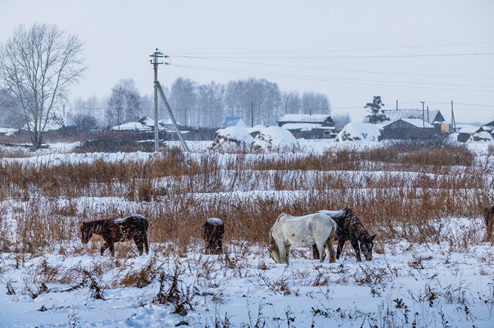 Поселок Большеречье. Пасущийся в заснеженных полях табун